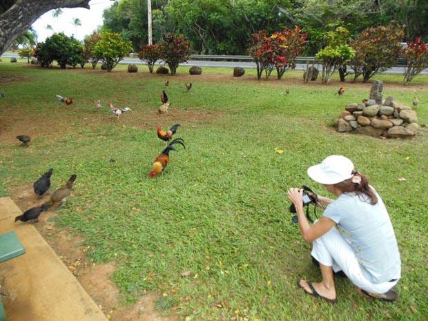 Chicken's animals
