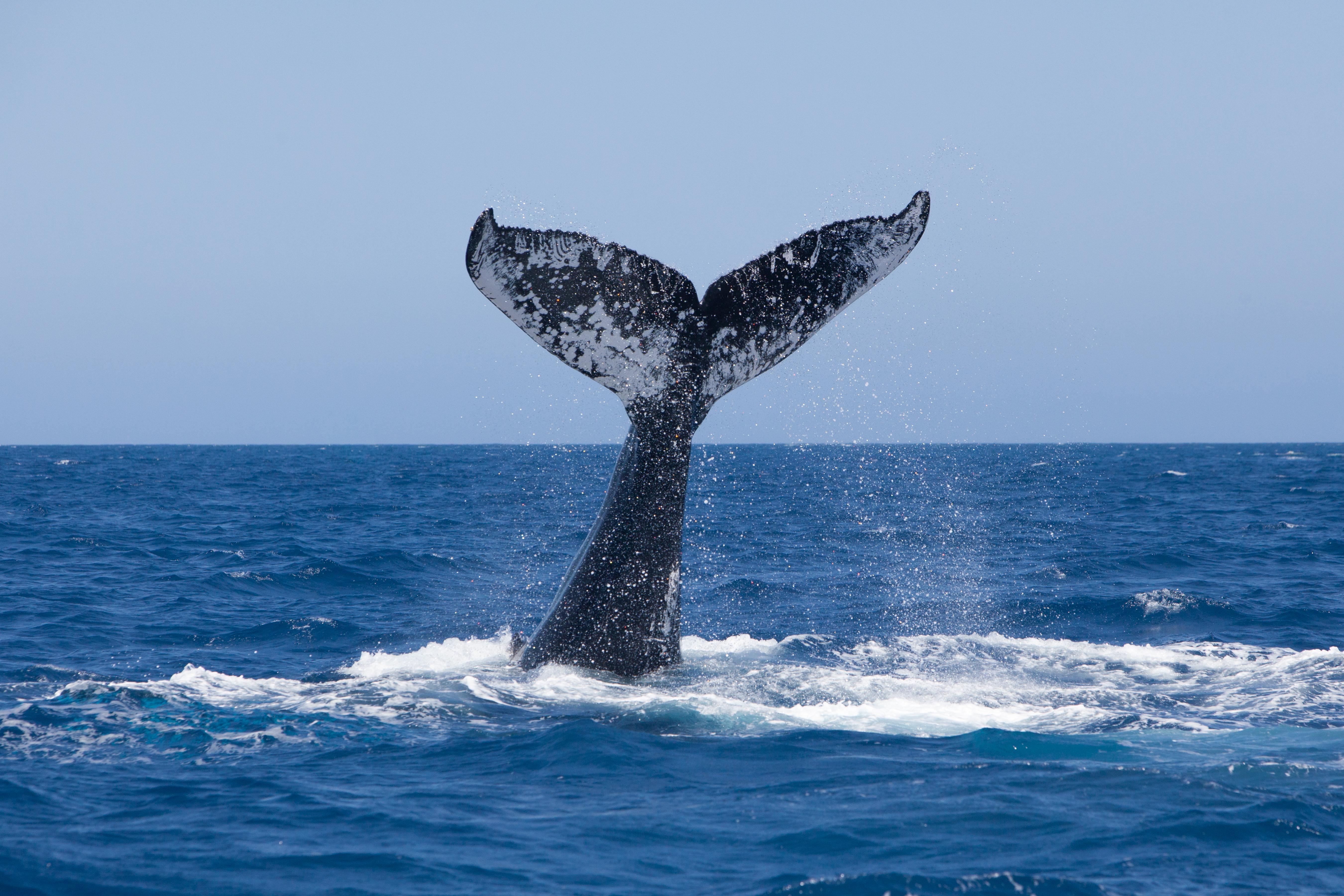 Canada 150 Whale