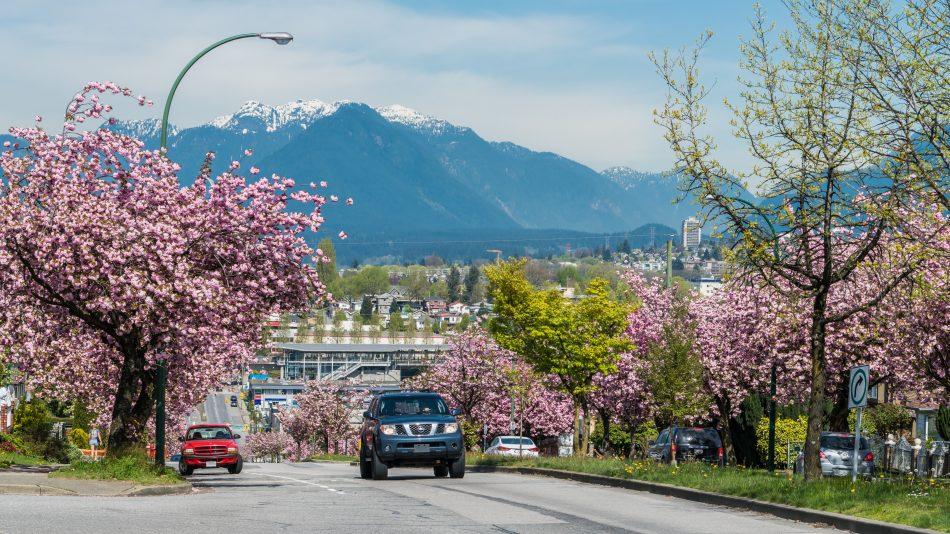 Canada 150 Cherry Blossoms