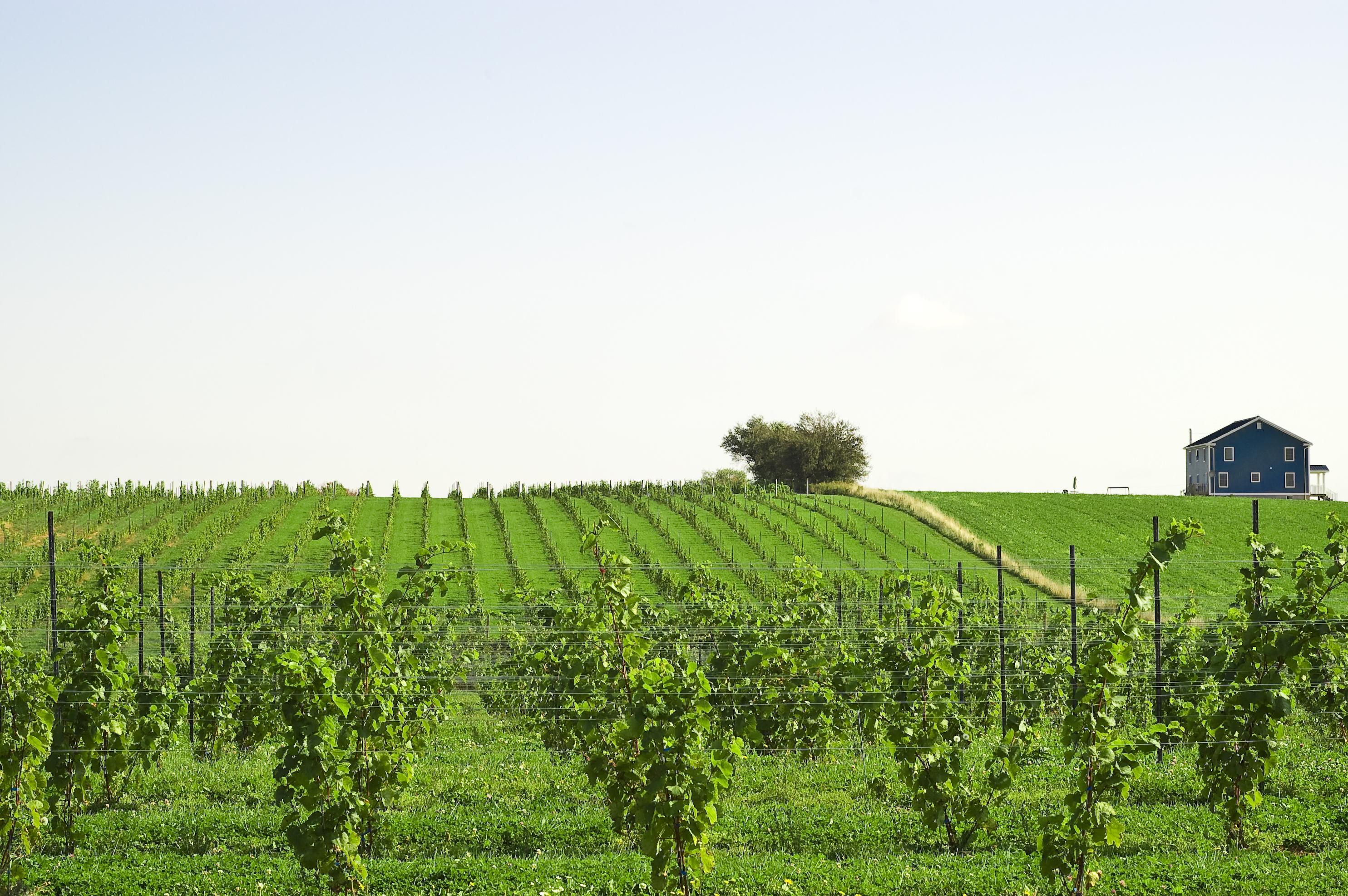 Canada 150 Hallifax Vineyard