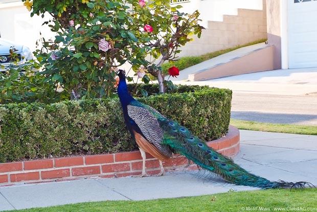 animals, peacock